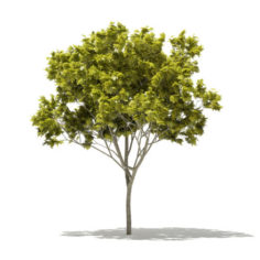 Norway Maple (Acer platanoides) 6.2m 3D Model