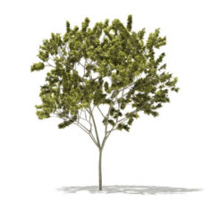 Norway Maple (Acer platanoides) 8.9m 3D Model