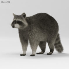 Raccoon HD 3D Model