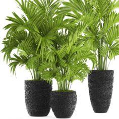 Howea Forsteriana Palm 3D Model
