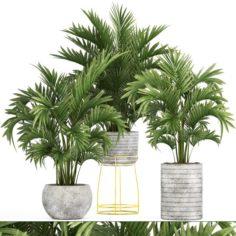Howea Palms 3D Model