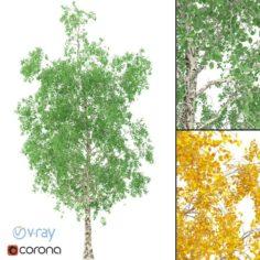 Birch Tree No 1 3 seasons 3D Model