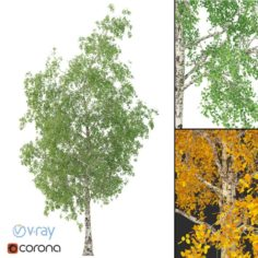 Birch Tree No 2 3 seasons 3D Model