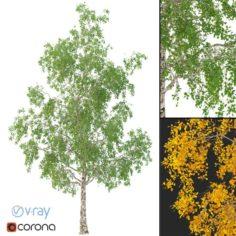 Birch Tree No 3 3 seasons 3D Model