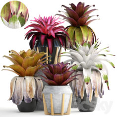 Collection of plants 153. Bromelia                                      3D Model