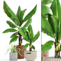Collection of plants 157. Banana palm                                      3D Model