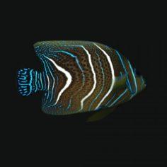 Koran Angelfish 3D Model