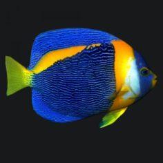 Angel fish queen 3D Model