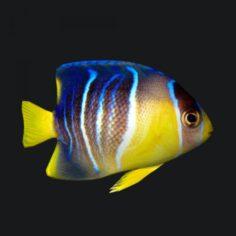 1 blue angelfish 3D Model