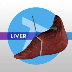Liver w Gallbladder – LOW-POLY 3D Model