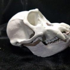 High Resolution Replica Scan Chimpanzee Skull Full Size 3D Print Model