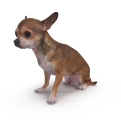 Chihuahua Sitting 3D Model