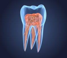 Transparent tooth of endodontics inner structure 3D Model