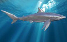Shark mako 3D Model