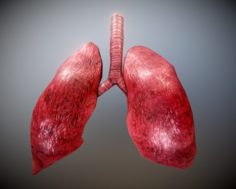 Animated Lung Free on Sketchfab 3D Model