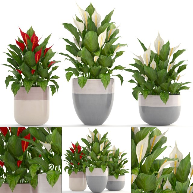 Collection plants Spathiphyllum 3D Model