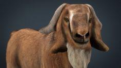 Domestic Goat 3D Model