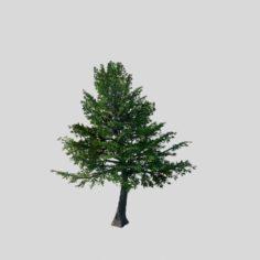 Sennard – evergreen 31 3D Model