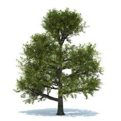 Oak tree 3D Model
