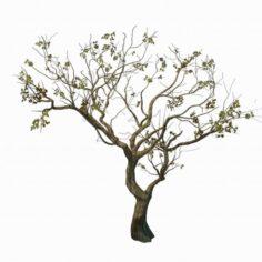 Sennard – Deciduous tree 3 3D Model