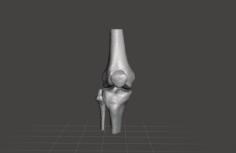 Right knee joint – female 3D Model