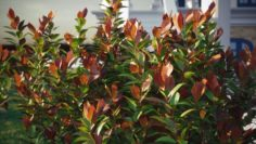 RED ROBIN 10 SHRUB MODELS OF THE PHOTINIA FRASERI 3D Model