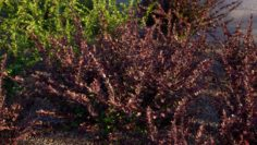 JAPANESE BARBERRY 10 SHRUB MODELS OF BERBERIS THUNBERGII 3D Model