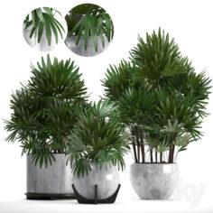 Collection of plants 230. Rhapis excelsa                                      3D Model