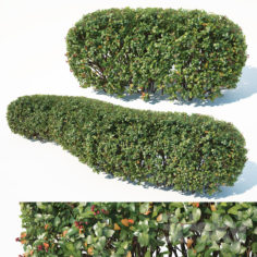 Cotoneaster lucidus # 1 customizable hedge                                      3D Model