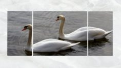 Triptych Wall Art Pair of Swans 3D Model