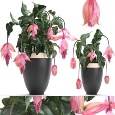 Collection Exotic plants Medinilla magnifica 3D Model
