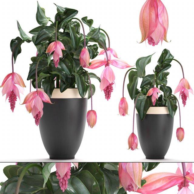 Collection Exotic plants Medinilla magnifica 3D Model
