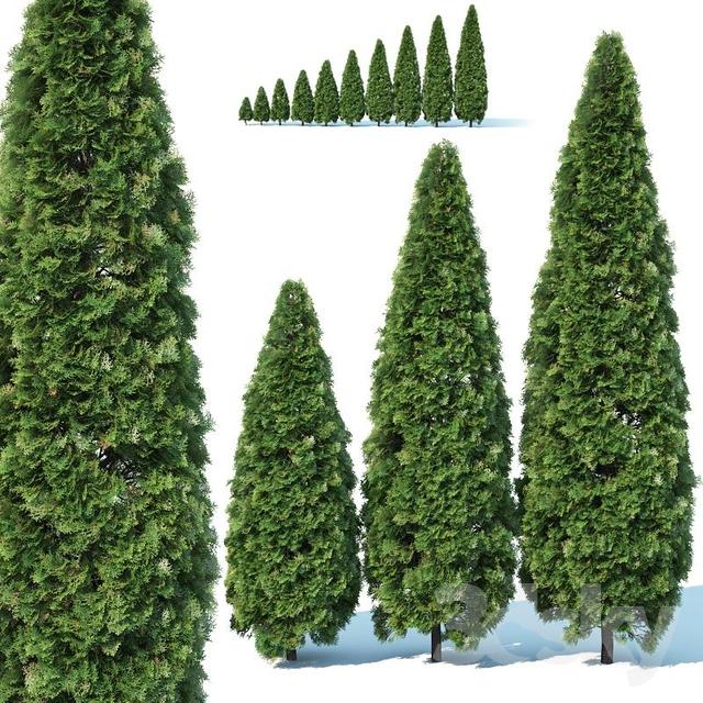 Thuya occidentalis # 1 Smaragd 10 sizes                                      3D Model