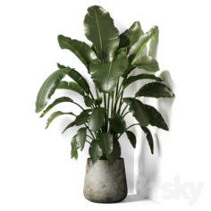 strelitzia plant 02                                      3D Model