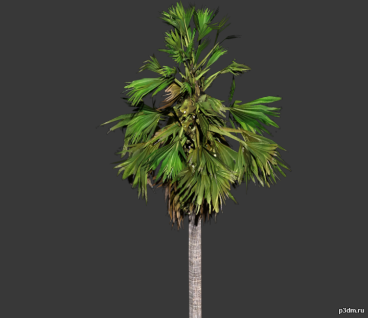 Palmyra Tree 3D Model