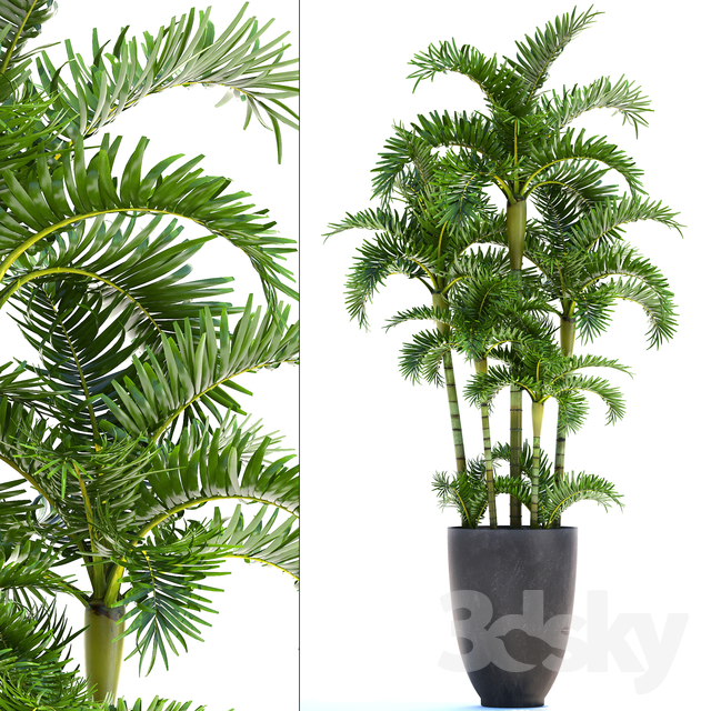 Dypsis lutescens 10                                      3D Model