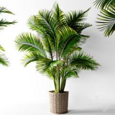 Palm areca                                      3D Model