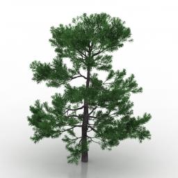 Plum pine 3D Model