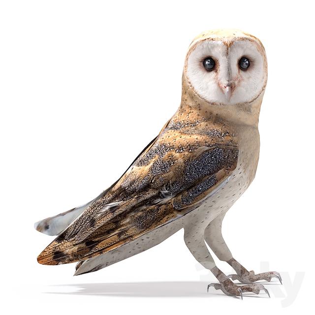 Barn owl                                      3D Model