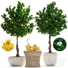 Plant Collection 265. Citrus limon                                      3D Model